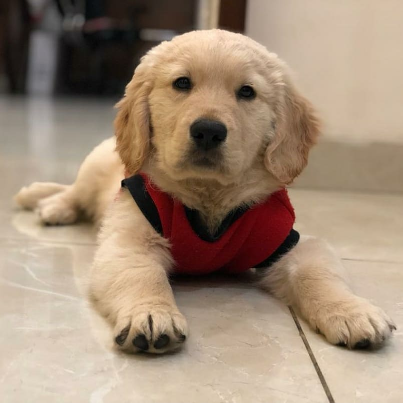 CUTE MALE AND FEMALE GOLDEN RETRIEVER PUPPIES FOR SALE ...