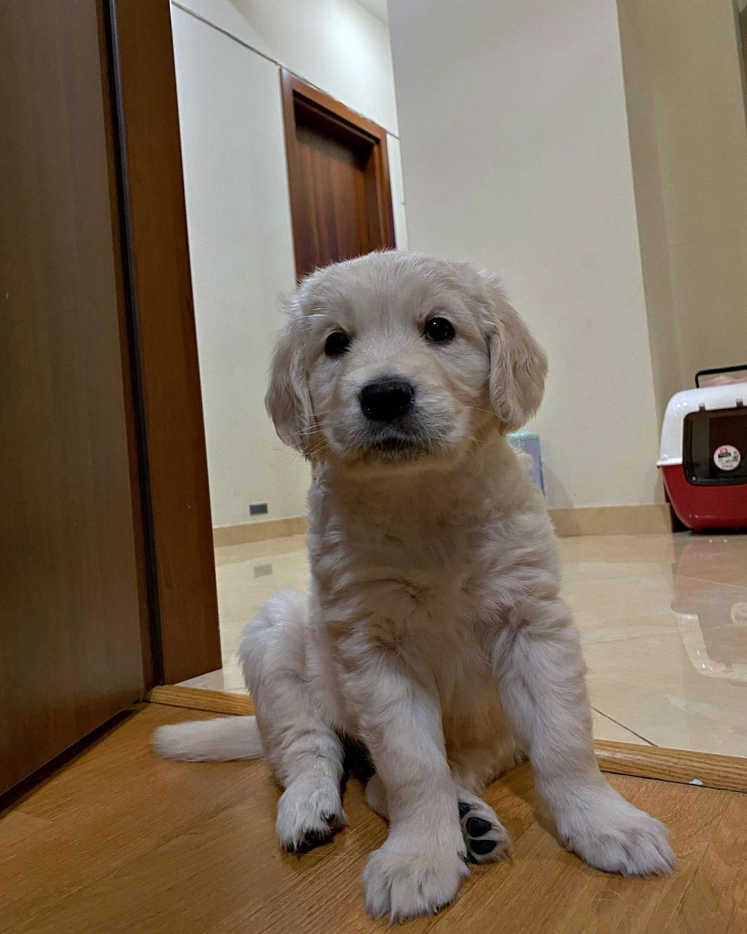 AWESOME GOLDEN RETRIEVER PUPPIES FOR SALE - Multino